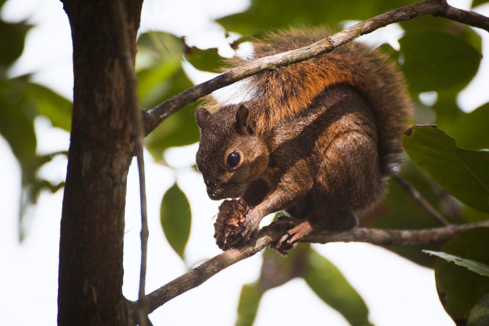costa-rica-focus-aventure-julia-lt-cahuita-ecureuil-faune