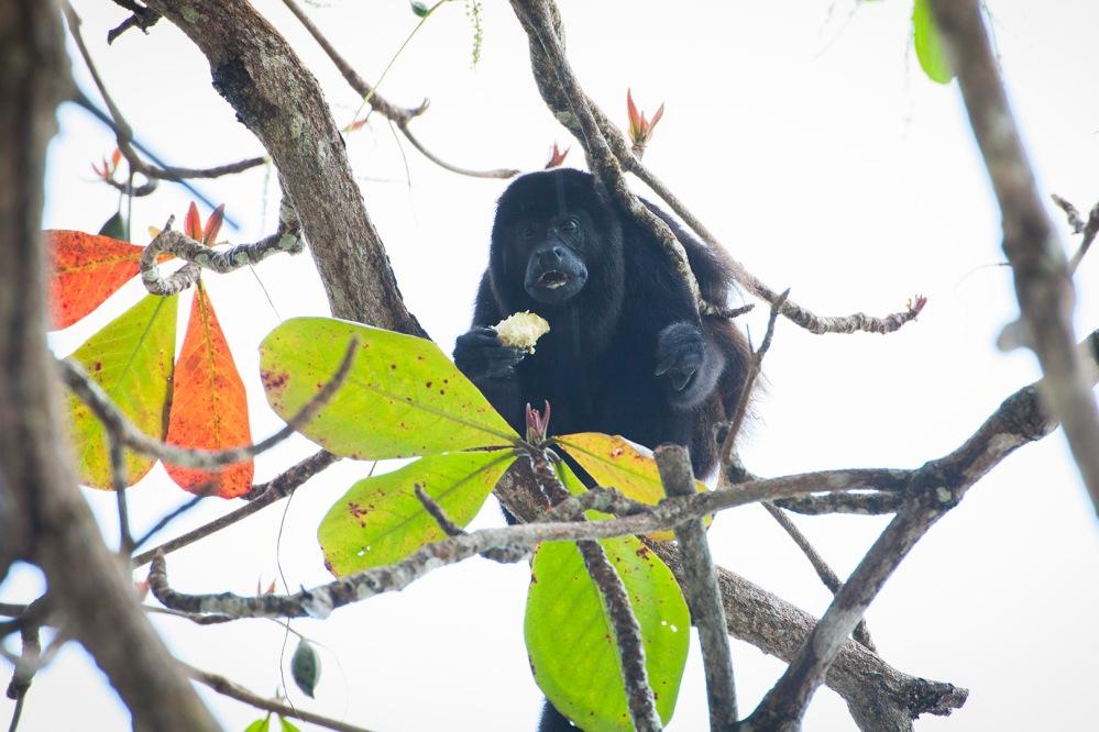 costa-rica-focus-aventure-julia-lt-cahuita-singe-faune
