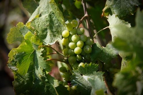 julia-laffaille-focus-aventure-cinque-terre-italie-vigne